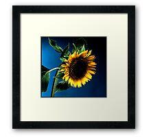 Sunflower on deep blue background Framed Print