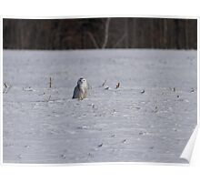 Snowy Owl InThe South Field Poster