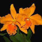 Cattleya Orchids by vette