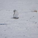 Snowy Owl In Flight 2 by Thomas Young
