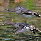 Female Hooded Mergansers in flight by jozi1