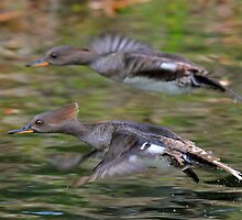 Female Hooded Mergansers in flight by jozi1