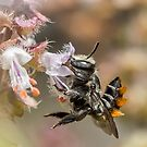 Leaf Cutter Bee by Helenvandy