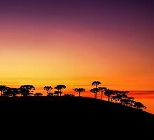 Araucaria Sunset by MiVisions