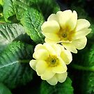 Yellow Primrose Closeup by Susan Savad