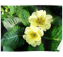 Yellow Primrose Closeup Poster