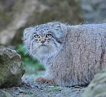 Pallas's cat (Otocolobus manul) by ChrisMillsPhoto