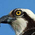 Osprey profile 3 by jozi1