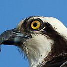 Osprey profile 3 by jozi1