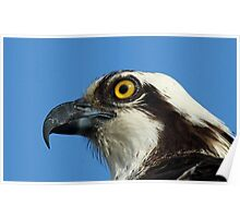 Osprey profile 3 Poster