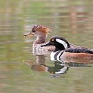 Welcome to the Hood - Hooded Mergansers by Jim Cumming