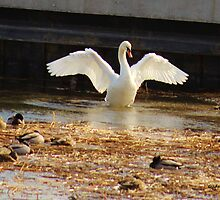 Swan Showing Off by Gilda Axelrod