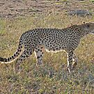 Cheetah, Kruger National Park, South Africa by Margaret  Hyde