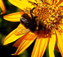 Bumble Bee on Yellow Flower by hoppyc