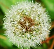 Make a Wish - Dandelion by andreaanderegg