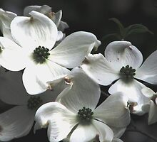 Dogwood At Dawn by AngieDavies