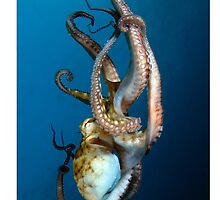 Big Blue Octopus by diveivanov