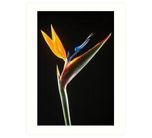 Strelitzia Flower Art Print