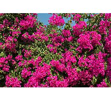 Bougainvillea Photographic Print
