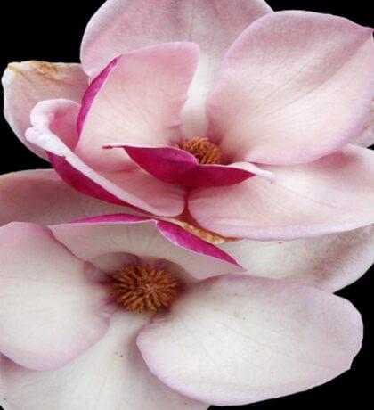 tulip magnolia twins (black bg square) Sticker