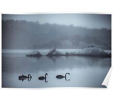 Black Swans, Wilson Inlet, Denmark Poster