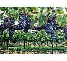 Shiraz on the Vine Photographic Print