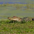 See ya later alligator by Jim Cumming