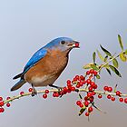 Bluebird Eating Berries by Bonnie T.  Barry