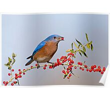 Bluebird Eating Berries Poster