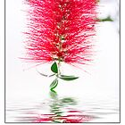 Happy Mother's Day Red Bottlebrush Flower by daphsam