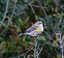 Yellow Rump Warbler by Cynthia48