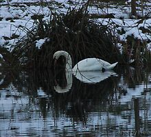 swan on snowy lake by PrestonsPort