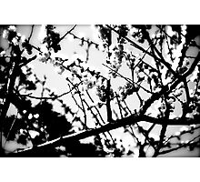 Cherry Blossoms (B&W) Photographic Print