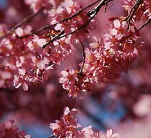 Cherry Blossom Tree by robinyang