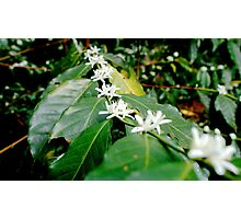 Coffee Flowers (Mexico) Photographic Print