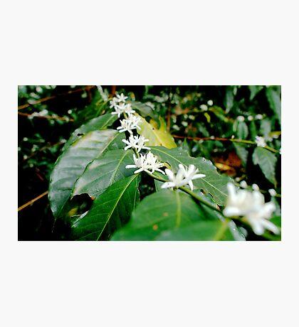 Coffee Flowers (Mexico) Photographic Print