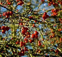 Red Berries by paulmuscat