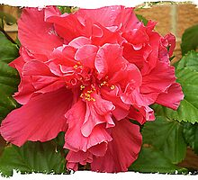 *Hibiscus - St John of God Hospital - Warrnambool Vic. by EdsMum