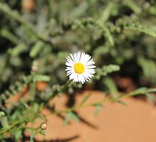 Erigeron beauty by Maree  Clarkson