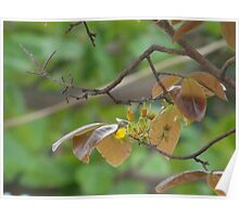 apricot blossom Poster