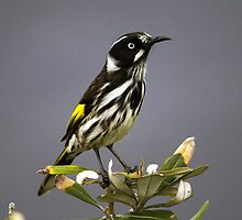 New Holland Honeyeater by Doug Cliff