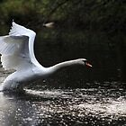 Swan Take off 2 by Peter Barrett