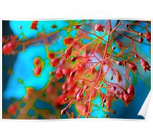 Fiery Red Clusters ~ Illawarra Flame Tree  Poster