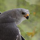 Freeing A Goshawk by byronbackyard