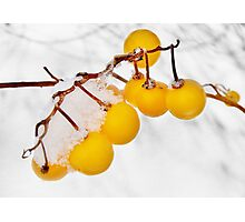 Frosty Yellow Berries  Photographic Print
