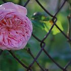 Rose in Fence by WeridofWerid