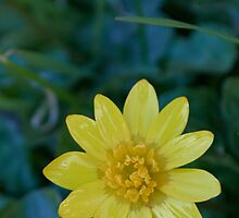 Buttercup by Sara Sadler