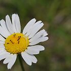 Ants on a Daisy by WeridofWerid
