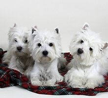 Westie Trio by smithmansell