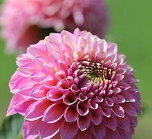 Dahlia named Skipley Spot of Gold by JMcCombie